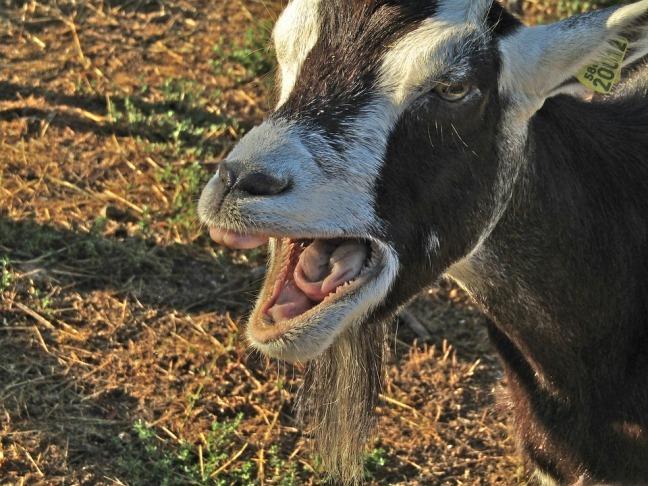 bratty goat
